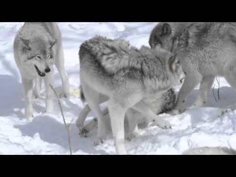 Timber Wolves Locked in Love