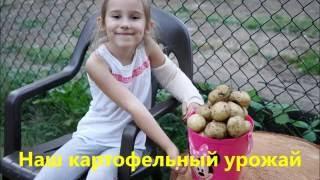 Наш урожай картофельный
