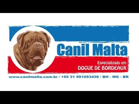 Dogue de Bordeaux - BH / Pablo Medeiros 31 99109 3438
