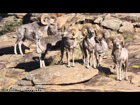 , title : 'Mongolian wildlife argali  sheep