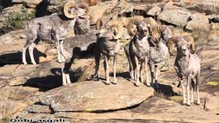 Mongolian wildlife argali  sheep