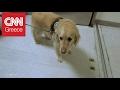Ο σκύλος-θεραπευτής που τώρα χρειάζεται θεραπεία