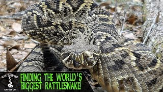FINDING THE BIGGEST RATTLESNAKE IN THE WORLD! (Eastern Diamondback Rattlesnake, Crotalus adamanteus)