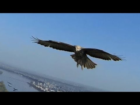 volantex-ranger-meets-live-eagle-in-flight-mobius