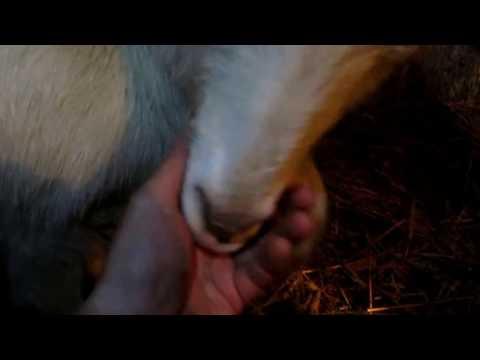 Как узнать что коза принесёт потомство через сутки