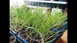 How to grow onions from seed and have success