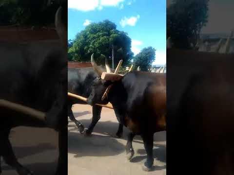 Festa do Carro de Boi em Água Fria de Goiás