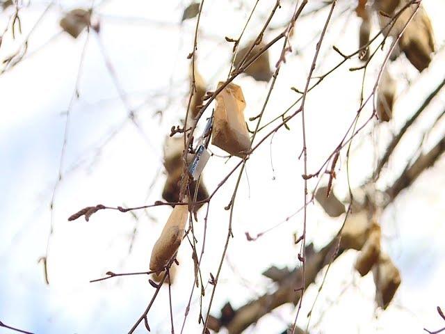 «Чайное дерево» выросло в Ангарске