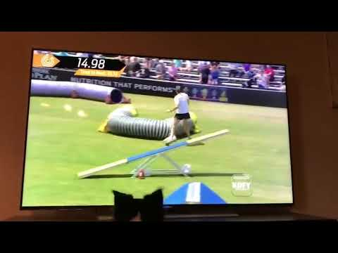 Kirk, a female Border Collie, watching herself win the 2017 Purina Pro Challenge