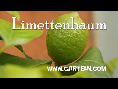 Limettenbaum: Tipps und Infos zur Pflege