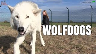 WOLFDOGS - The North American Indian Wolf Dog