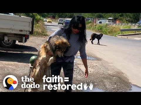 Woman In Romania Spends Days Trying To Catch Terrified Street Dogs | The Dodo Faith = Restored
