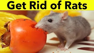 How to Get Rid of Rats within 24 Hours  | 4 Home Remedies to Get Rid of Rats in House