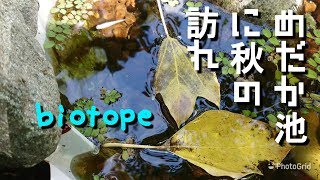 メダカ大人気のビオトープ作り「めだか池に秋の訪れ」Crepe's Biotope
