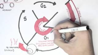 Cell Cycle (Overview, Interphase)