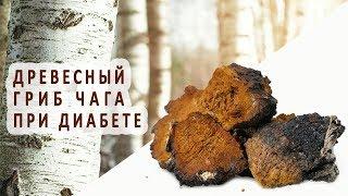 Древесный гриб чага в лечении сахарного диабета