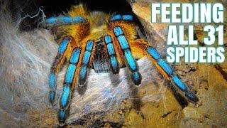 Feeding my 31 Tarantulas (GONE WRONG)