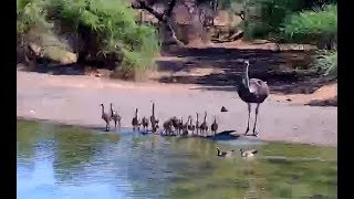 Ostriches and babies at Pete's Pond. 09.15 / 30 October 2018
