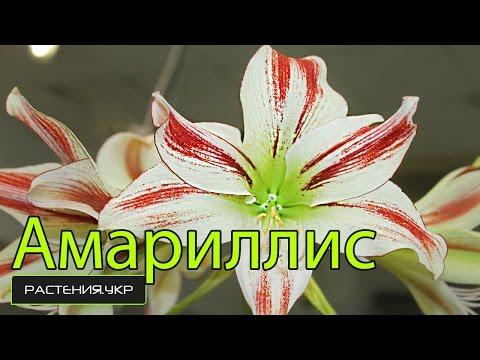 Амариллис или Гиппеаструм уход за луковицей в домашних условиях/ Amaryllis or Hippeastrum