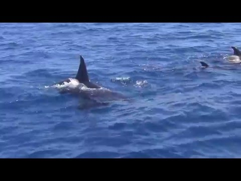 Orca Paarungsszenen