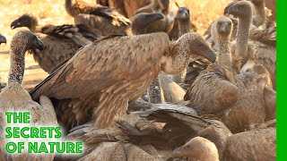 Vultures - Africa's Wild Wonders - The Secrets of Nature