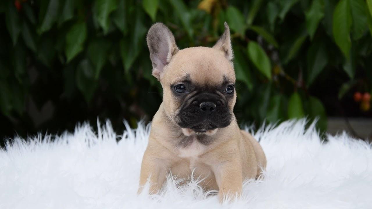 Maximus - French Bulldog Puppy for sale | Euro Puppy