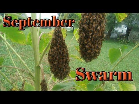 , title : 'Honeybee Swarm & Getting Stung on the Butt 🐝🐝🐝🐝🐝#Honeybees #Beginner #Beekeeper