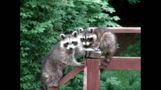 Here's How You Can Get Rid of Raccoons for Free