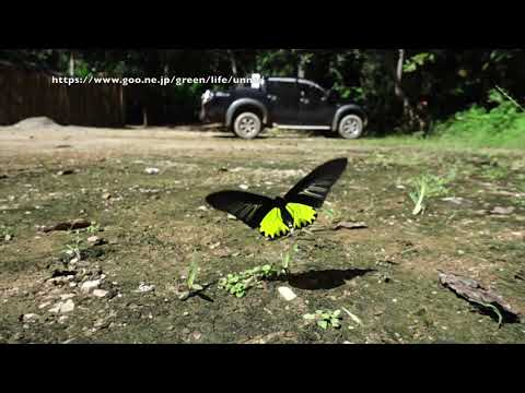 キシタアゲハの飛翔と構造色