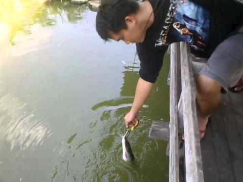 Borneo River Monster Fishing Crew – Sondin Pond Fishing (Cat Fish).mp4