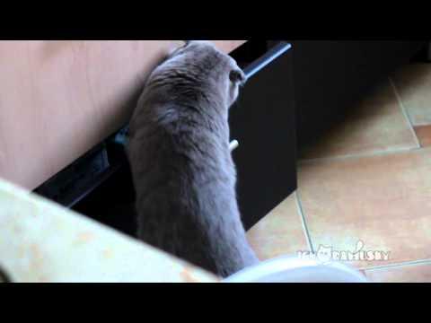 Con mèo lục trộm đồ mặt ngu nhất thế giới