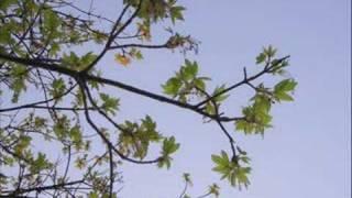 Oh Rowan Tree
