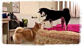 ПРИКОЛЫ С ЖИВОТНЫМИ, ПРИКОЛЫ С СОБАКАМИ   FUN WITH ANIMALS, FUNNY DOGS #438