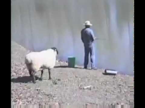 Montone dispettoso, nota un pescatore e lo attacca facendolo finire in acqua