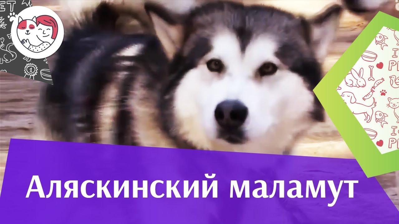 Аляскинский маламут Темперамент на iLikePet