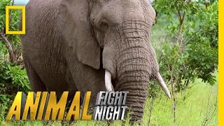 An Elephant Smack Down | Animal Fight Night