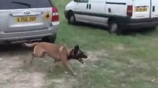 German Shepherd Well Trained!!!(Tactical Obedience Need One/WATCH TILL THE END)