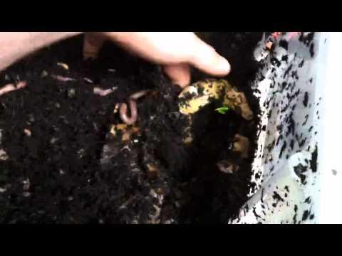 A parassiti non trattano funghi golovnya