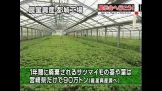 サツマイモ茎葉ポリフェノール
