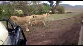 preview picture of video 'Leonas y cachorros en Ngorongoro'