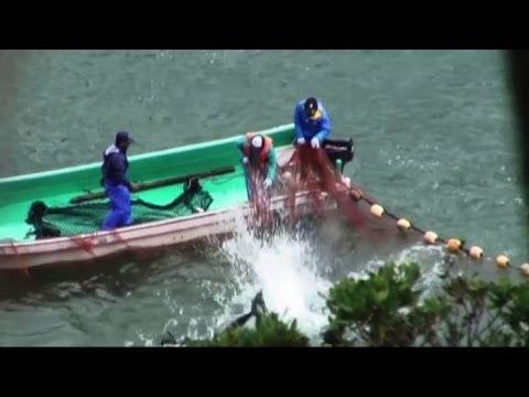 Giappone, abbattuti altri 30 delfini nella baia di Taiji