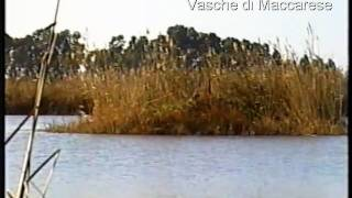 preview picture of video 'FALCO di PALUDE.AVI'