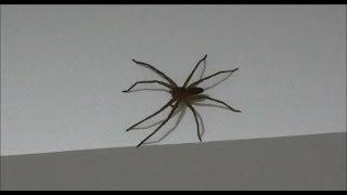 Big Spider, Thailand. Огромный паук в моём доме, Тайланд.