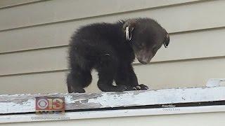 Lost Bear Cub Found On Porch Of Western Md. Home