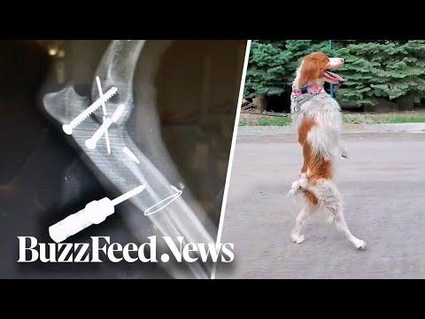 3-Legged Dog Prefers Walking On 2 Back Legs