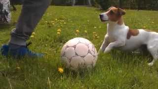 Funny Jack Russell Terrier Filo