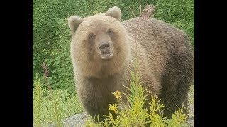 Медведи Камчатки 2018