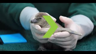 Zookeeper Gets You Up Close with Baby Penguin