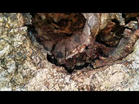 Old Tree Filled with Carpenter Ants in Fair Haven, NJ