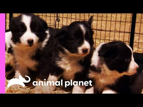 Baby Border Collies Start Learning To Herd | Too Cute!